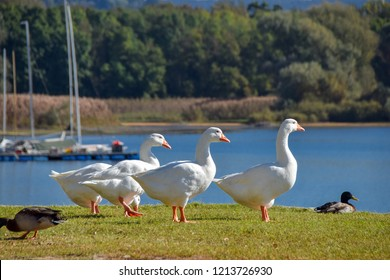 a group of swans and ducks on the shores of Lake Maggiore, in Angera