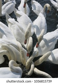 Group of swans feeding