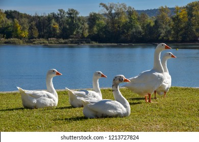 a group of swans  on the shores of Lake Maggiore, in Angera