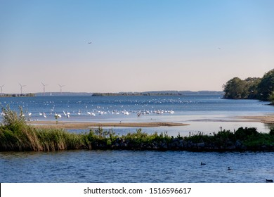 A group of swans swimming in IJsselmeer in the morning, Is a closed off inland bay in the central Netherlands bordering the provinces of Flevoland, North Holland and Friesland.