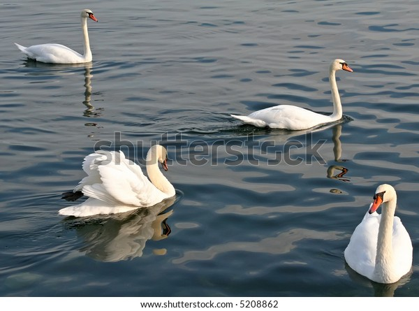 Group of swans swimming together on a lake