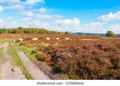 A group of Swayland sheep walk in line across Stanton Moor in the Derbyshire Dales.