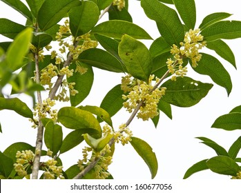 Group of Sweet osmanthus flower and leaves close up isolated on white background