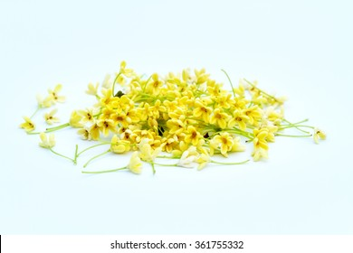 Group of Sweet osmanthus or Sweet olive flowers blossom on white background