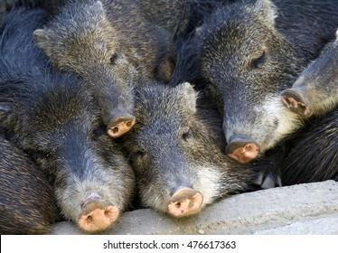 Group of sweet pigs cuddled up sleeping