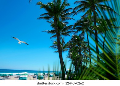 Group of tall palm trees and flying seagull by sandy beach over clear blue sky in Deerfield beach, Florida, USA