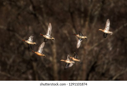 group of teal ducks flying at sunset