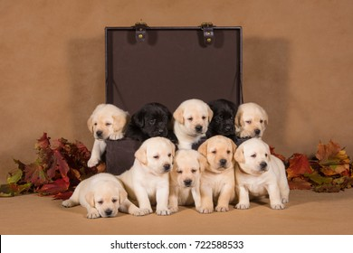 A group of ten labrador puppies are posing in the studio