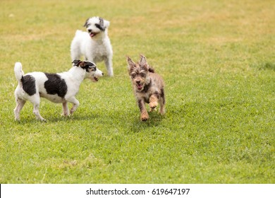 Group of terrier dog mixes play in a dog park in summer.