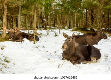 Group of three adult moose (Alces alces) resting in snow. Two cows and one bull. Focus on the animal in the front.