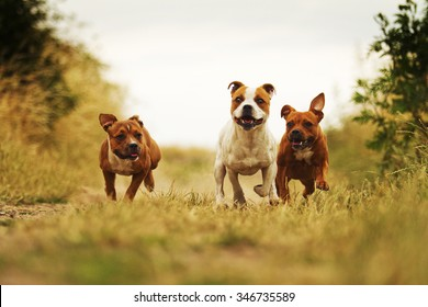 group of three angry and fun American Staffordshire Terrier dog with Staffordshire Bull Terrier puppy running in summer field with sky