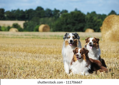 A group of three australian shepherd dogs in the countryside