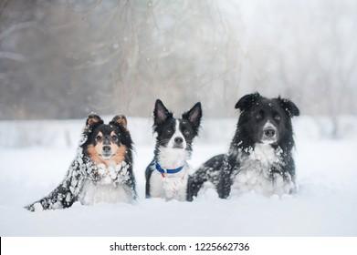 Group of three australian shepherd dogs in winter park