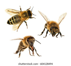 group of three bee or honeybee in Latin Apis Mellifera, european or western honey bee isolated on the white background, golden honeybees