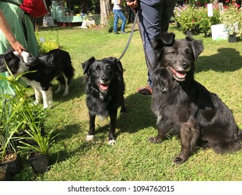 Group of three border collie dogs on a leash outside in the park.