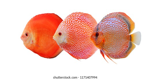 Group of three bright and colorful discus fishes isolated on white background. Beautiful freshwater aquarium fish