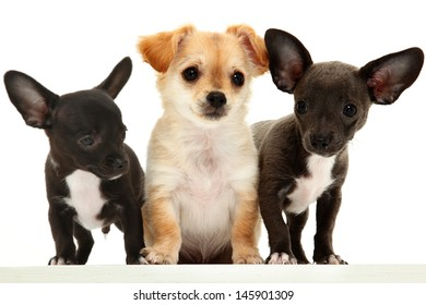 Group of three chihuahua puppies over white.