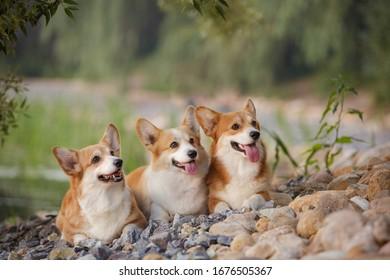 Group of three corgi dog pembroke welsh corgi walking outdoor in summer park