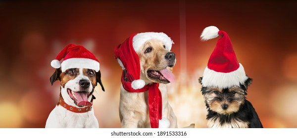 Group of three dogs celebrating christmas with a Santa Claus hat