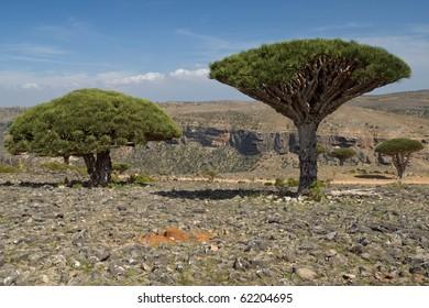 Group of three dragon trees