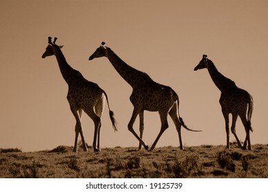 A group of three giraffes walking in the savanna in South Africa at sunset. Image in sepia.