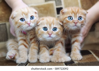group of three little orange kittens with big blue eyes lie on a sofa. Portrait of a british short hair cats
