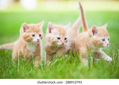 Group of three little red kittens