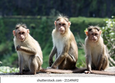 A group of three monkeys sitting on a wall on a forest border.