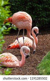 A group of three pink flamingos relaxing in a sunny area in the spring time.