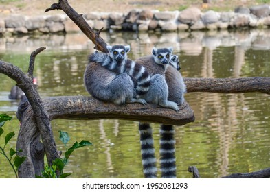 A group of three ring-tailed lemurs sitting on a tree branch hugging. Captive lemurs for conservation in a zoo with a lake in the background. Endangered species and threatened wildlife.