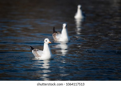 Group of three seagulls swim in the lake