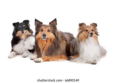 Group of three Shetland sheepdogs (shelty) lying and looking away, isolated on a white background