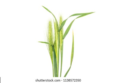 Group of three whole fresh green plant barley mouse grass bunch flatlay isolated on white