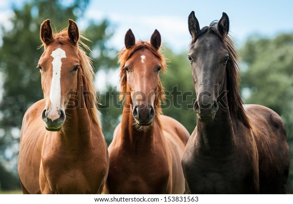 Group of three young horses on the pasture