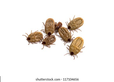 Group of tick isolated on white