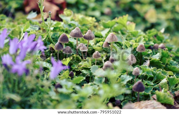 A group of tiny mushrooms hidden in a purple flower bed