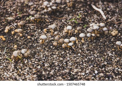 group of tiny mushrooms popping up from the ground among wet soil and gravel, shot at shallow depth of field