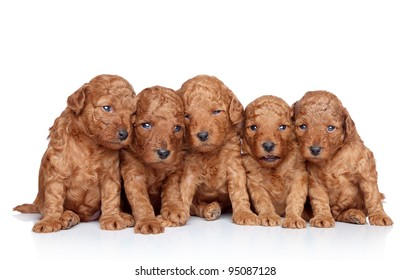 Group of a Toy-poodle Puppy (20 days) on a white background. Closeup portrait series