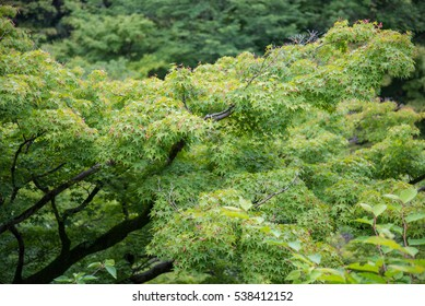 Group of tree in forest  mountain in Japan