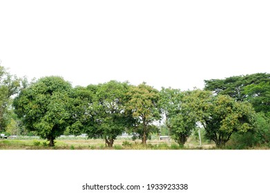 Group of tree isolated on white,tropical trees isolated used for design, advertising and architecture