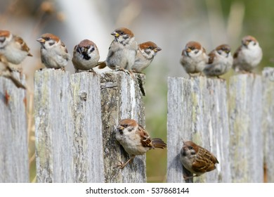 Group of Tree Sparrows (Passer montanus) sitting on the fence.