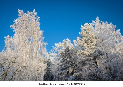 group of trees in hoarfrost, shot from below