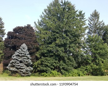 A group of trees, including a silver fir, red maple, and pine tree in a backyard against a blue sky.