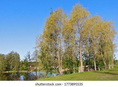 Group of trees near the riverbank in summer time