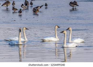 A group of tundra swans in Cheever Lake at Turnbull Wildlife Refuge near Cheney, Washington.