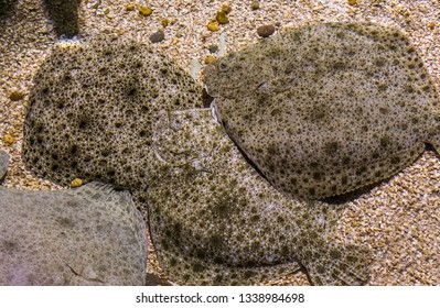 group of turbots laying together on the bottom, popular flatfish, Near threatened animal specie