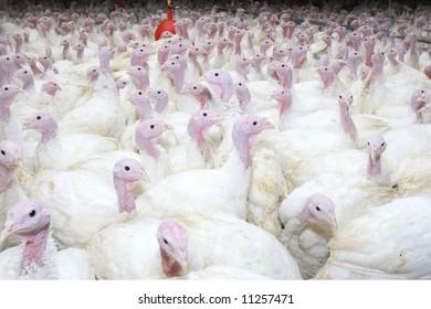 group of turkeys at farm