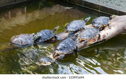 Group of turtles lying on the branch