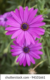 group of two beautiful bright purple daisy flowers on green grass background. Macro close up photo.