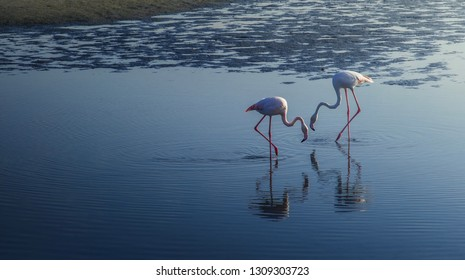 Flamingo's Group of two beautiful white and pink Flamingo eating aquatic plants from reaver and lakes